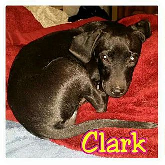 Dachshund Mix Puppy for adoption in Mesa, Arizona - Clark