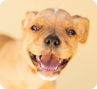 Boxer Mix Puppy for adoption in Cincinnati, Ohio - Wellesley