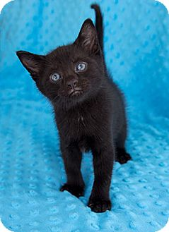 Domestic Shorthair Kitten for adoption in Tallahassee, Florida - Thor
