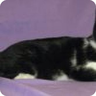 Domestic Shorthair Cat for adoption in Powell, Ohio - Oscar