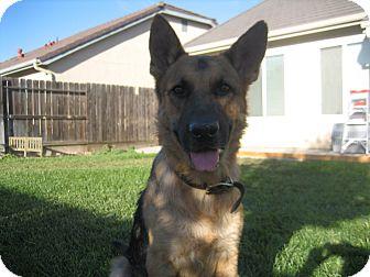 German Shepherd Dog Dog for adoption in Los Banos, California - Doc