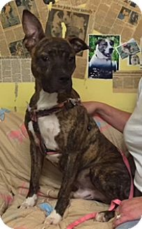 Pit Bull Terrier Mix Dog for adoption in Henderson, Kentucky - max