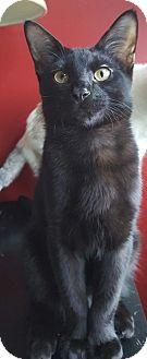 Domestic Shorthair Kitten for adoption in Hillside, Illinois - Levi-5 MONTHS