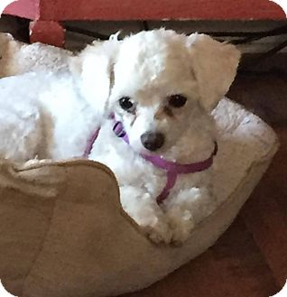 Poodle (Toy or Tea Cup) Mix Dog for adoption in Greensboro, Maryland - Becky