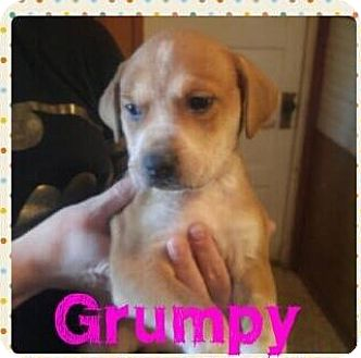 Australian Cattle Dog/Pit Bull Terrier Mix Puppy for adoption in Wichita Falls, Texas - Grumpy