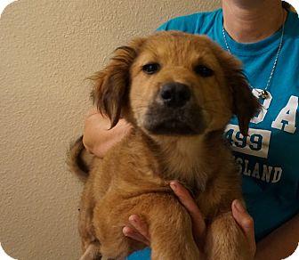 Golden Retriever/Labrador Retriever Mix Puppy for adoption in Oviedo, Florida - Rogue