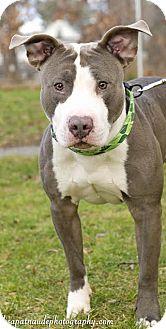 Pit Bull Terrier Mix Dog for adoption in Worcester, Massachusetts - Melman