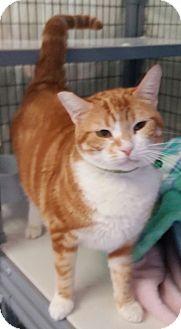 Domestic Shorthair Cat for adoption in Diamond Springs, California - Aranea