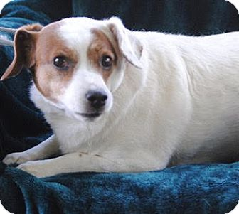Jack Russell Terrier Dog for adoption in Olivet, Michigan - Buster