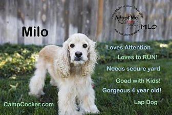Cocker Spaniel Dog for adoption in Sherman Oaks, California - Milo