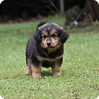 Adopt A Pet :: Falcon - South Dennis, MA
