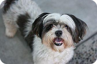 Shih Tzu Mix Dog for adoption in Canoga Park, California - Lola