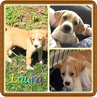 Pointer Mix Puppy for adoption in Chalfont, Pennsylvania - Laura