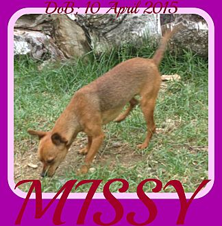 Chihuahua Mix Dog for adoption in Allentown, Pennsylvania - MISSY