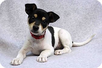 Schnauzer (Standard) Mix Puppy for adoption in Westminster, Colorado - Omar