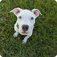 Adopt A Pet :: Kori - Umatilla, FL