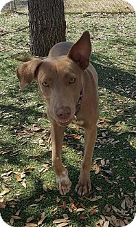 Retriever (Unknown Type)/Mixed Breed (Medium) Mix Dog for adoption in Fort Myers, Florida - Shiloh