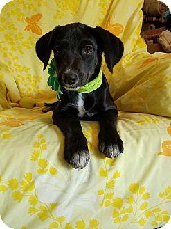 Labrador Retriever Mix Puppy for adoption in Burlington, Vermont - Scarlett (see video)