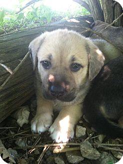 Labrador Retriever Mix Puppy for adoption in Iowa, Illinois and Wisconsin, Iowa - Simba