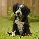 Adopt A Pet :: PUPPY BELLISSIMA