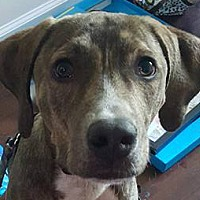 Adopt A Pet :: Boomer - St. Louis, MO