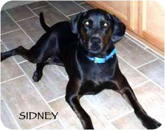 Retriever (Unknown Type)/Dalmatian Mix Dog for adoption in Mandeville Canyon, California - Sidney