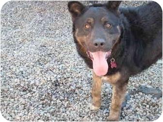 Shepherd (Unknown Type) Mix Dog for adoption in Kingston, New York - Bear