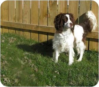 English Springer Spaniel Dog for adoption in Xenia, Ohio - Sadie