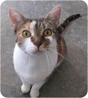 Siamese Cat for adoption in Fayetteville, Arkansas - Gracie
