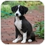 Photo 2 - Labrador Retriever/Collie Mix Puppy for adoption in West Milford, New Jersey - CHANEL
