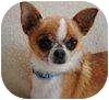 Chihuahua Mix Dog for adoption in Portola, California - Chi-Chi