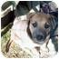Photo 2 - American Staffordshire Terrier/Labrador Retriever Mix Puppy for adoption in Waller, Texas - Dodger