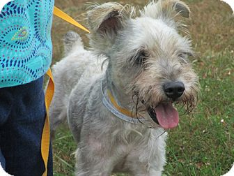 Schnauzer (Miniature)/Schnauzer (Miniature) Mix Dog for adoption in Long Beach, New York - Petey