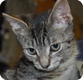 Domestic Shorthair Kitten for adoption in Brooklyn, New York - Teddy