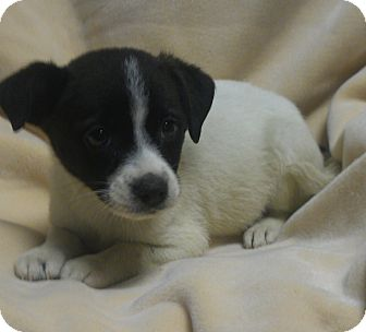 Chihuahua/Jack Russell Terrier Mix Puppy for adoption in Hammond, Louisiana - Cookies