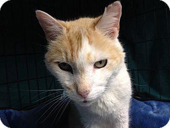 Domestic Shorthair Cat for adoption in Warwick, Rhode Island - Buzz