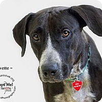 Adopt A Pet :: Yvette - Phoenix, AZ