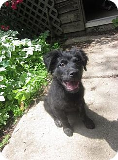 Belgian Shepherd/Collie Mix Puppy for adoption in Hainesville, Illinois - Dove