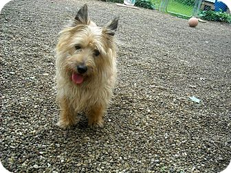 Cairn Terrier Dog for adoption in Mentor, Ohio - SHIRLEY**PREFERS TO BE ONLY DOG*****