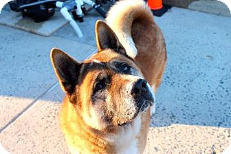 Akita Dog for adoption in Toms River, New Jersey - Big Boy