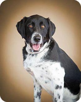 Border Collie Mix Dog for adoption in Denver, Colorado - Callie