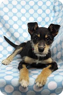 Terrier (Unknown Type, Small) Mix Dog for adoption in Westminster, Colorado - Gloria