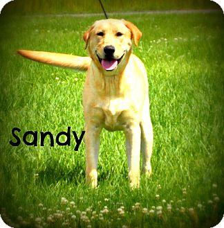 Labrador Retriever Dog for adoption in Defiance, Ohio - Sandy