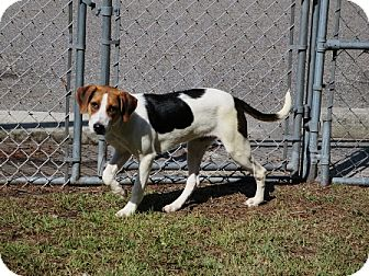 Treeing Walker Coonhound Mix Puppy for adoption in Shelter Island, New York - Lucy