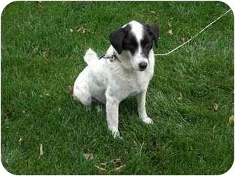 Border Collie/Beagle Mix Dog for adoption in Kansas City, Missouri - Snoopy