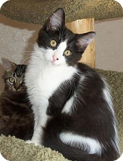 Domestic Longhair Kitten for adoption in Lisbon, Ohio - Pixie - ADOPTED!