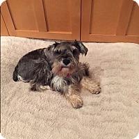 Adopt A Pet :: Haley - Chicago, IL