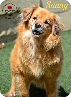 Australian Shepherd/Spaniel (Unknown Type) Mix Dog for adoption in Youngwood, Pennsylvania - Sunny