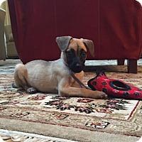 Adopt A Pet :: Honey - Middlesex, NJ