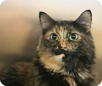Domestic Mediumhair Cat for adoption in Canoga Park, California - Kaylee